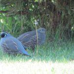 Über Hühnervögel: Hennen und Wachteln