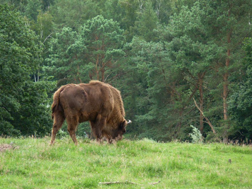 Die  ausgewilderten  Wisente im Rothaargebirge