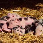 Die Auflösung einer Schweinezucht