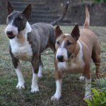Bullterrier oder Mini-Bullterrier: Nicht nur die Höhe machts !