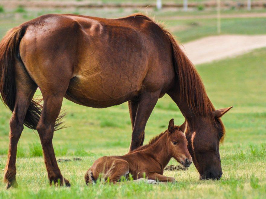 Das von einer Leihmutter ausgetragene Fohlen – und sein Züchter