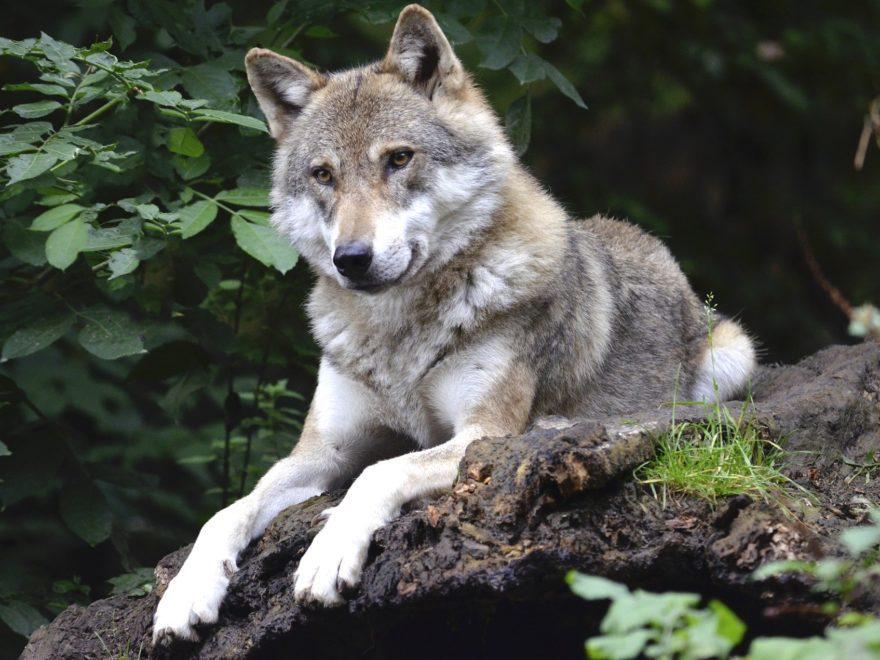 Der Abschuss zweier Wölfe
