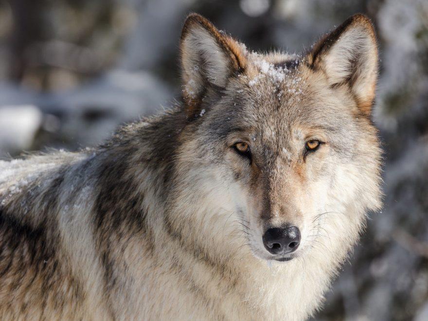 Tierschutzverbände gegen Wolfsabschuss